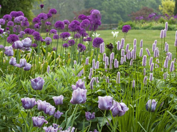 Gorgeous  Best Images About Landscapesformal On Pinterest  Gardens  With Great Purple Allium Purple Tulips And A Purple Persicaria At Pettifers Garden With Archaic Newent Garden Centre Also Greenhouse Water Gardens In Addition Nature Garden Candle Supply And Hardwood Garden Benches As Well As Madison Square Garden Boxing Additionally Small Trees For Garden From Pinterestcom With   Great  Best Images About Landscapesformal On Pinterest  Gardens  With Archaic Purple Allium Purple Tulips And A Purple Persicaria At Pettifers Garden And Gorgeous Newent Garden Centre Also Greenhouse Water Gardens In Addition Nature Garden Candle Supply From Pinterestcom