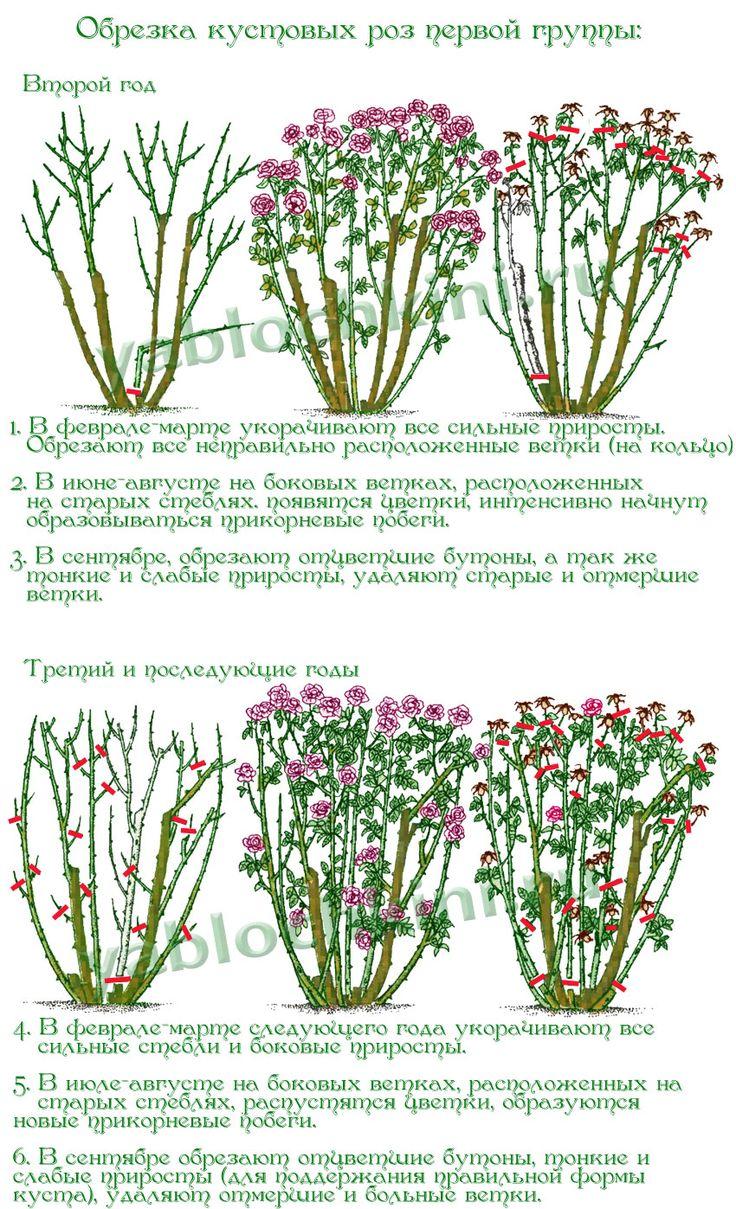 обрезка-кустовых-роз-первой-группы