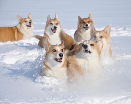 corgi in snow   Corgi's in the snow :-)