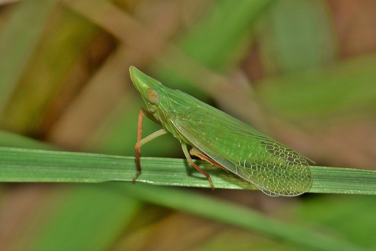 Leafhopper, Planthopper, Insect, Green Insect