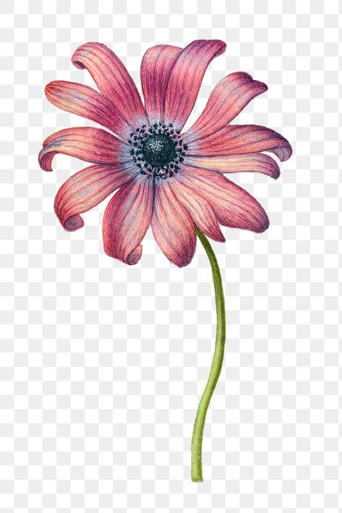 Pink Daisy Flower Png Hand Drawn Free Image By Rawpixel Com Eve Pink Daisy Daisy Flower How To Draw Hands