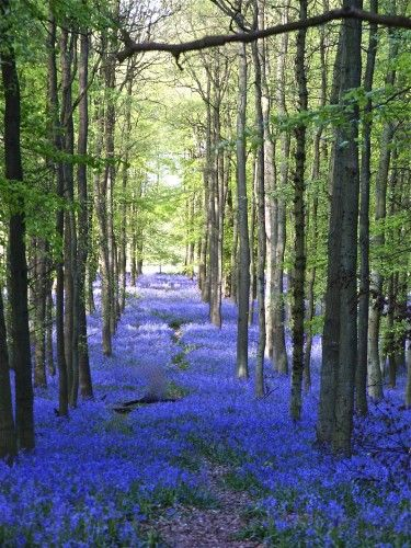 Bluebells  -photographed by Susan Branch while visiting England