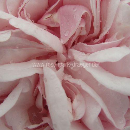 Rosen online kaufen | Souvenir de la Malmaison | rosenpark-draeger.de