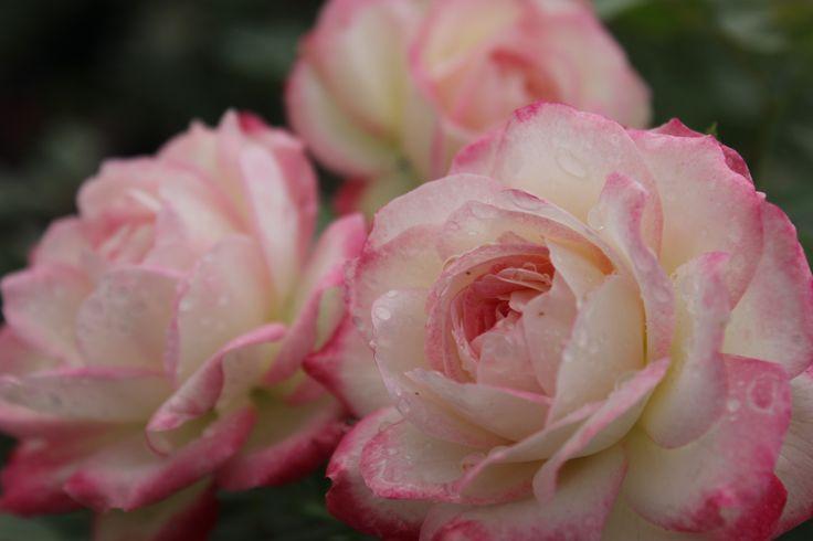 Роза `Юбилей Принца Монако`