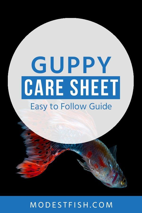 Guppy Care Sheet Your Definitive Guide On Housing Feeding Breeding Guppy Fish Guppy Fish Care