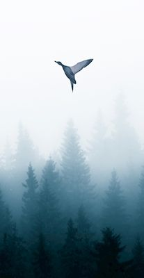 Bird flying above a foggy forest. Beautiful blue landscape setting. Available as a print / poster on printler.com Photographer: Ibrahim Hamid