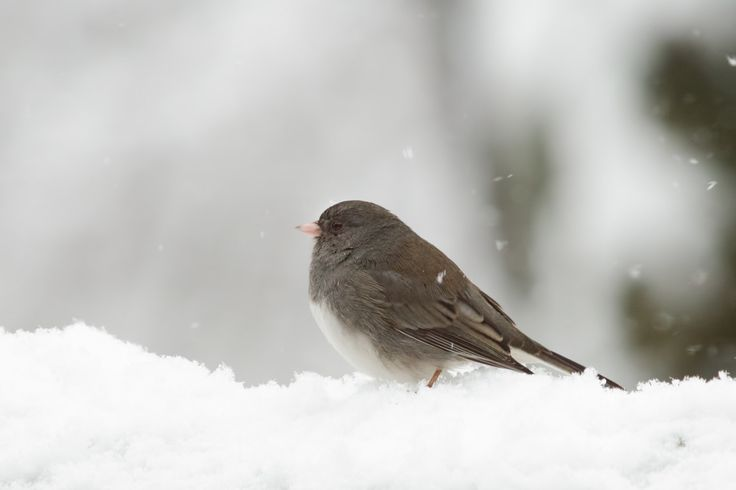 Snow Bird - photo art Dark-eyed Junco, songbird, snowy, winter, cheery, song bird, nature, snow bird, happy photo, cute photo by DajDesigns on Etsy