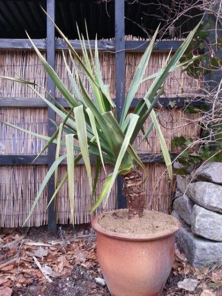 Yucca gloriosa just plantet in my garden - www.iminhave.dk