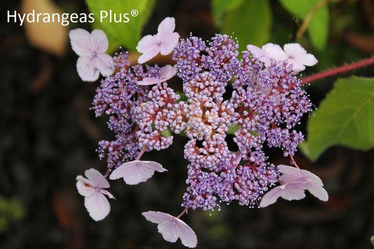 Hydrangea Aspera Villosa - wish this was hardy to zone 3!: Hydrangeas Variety, Growing Hydrangeas, Hydrangeas Hortensia, Hydrangeas Aspera, Hydrangeas Plants