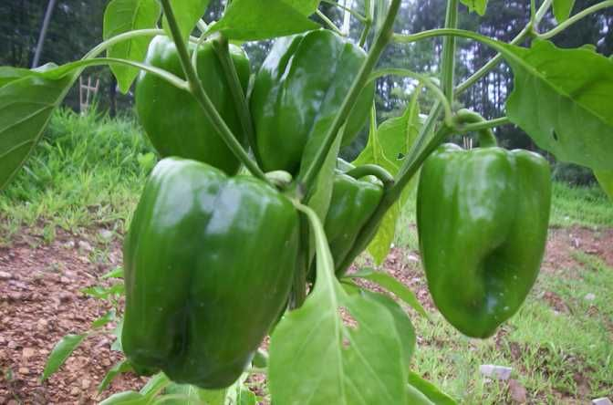 Spray the plant with Epsom salts (1 teaspoon dissolved in a spray bottle of warm water (about 4 cups). That gives the pepper plant a boost of magnesium that is required at flowering time to produce fruit. Spray them again 10 days later and in a few weeks, you will have more peppers than you can eat.