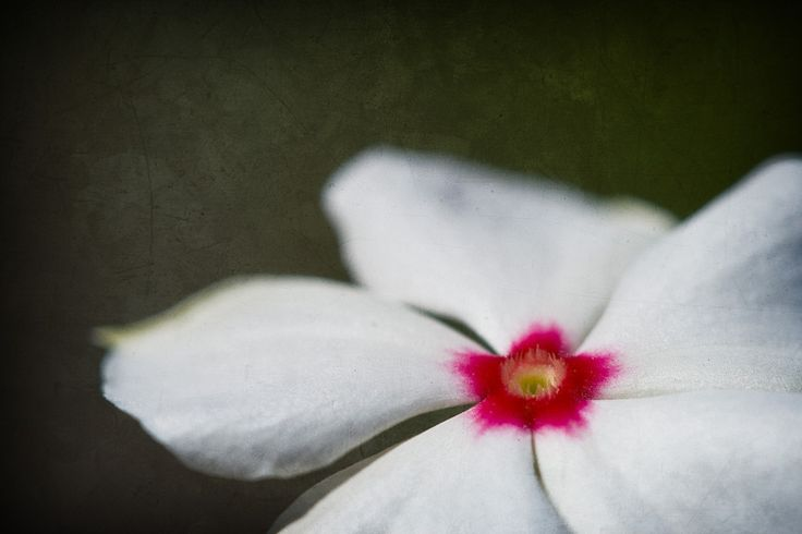 Madagascar Periwinkle (Catharanthus roseus), treated with textures. Available as canvas/print on 500px Art.