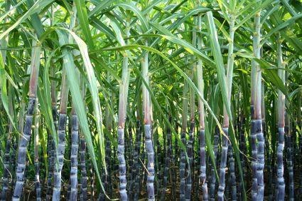 sugar cane farm in Hawaii - Google Search