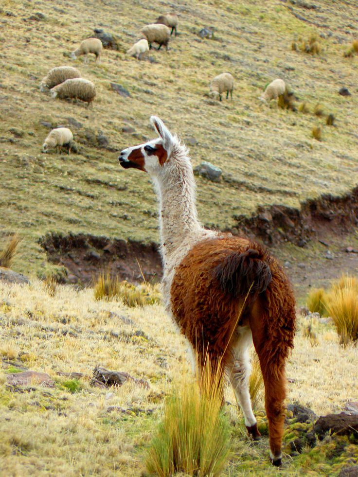 Colourful Lama off the beaten track in Lares-Peru. #Colourful #Lama #Animal #Peru #nohorse