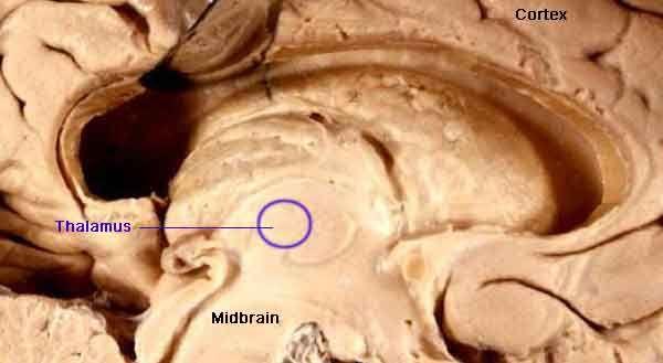 17 best ideas about caudate nucleus on pinterest