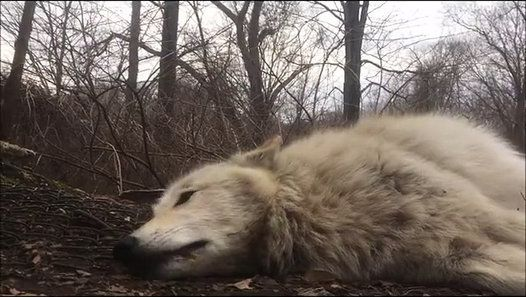 Hurlement d'un loup paresseux http://www.dailymotion.com/video/x4iymhx_hurlement-d-un-loup-paresseux_animals