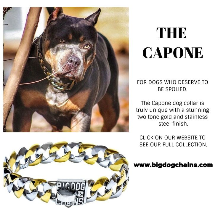 The Capone is made of high quality marine grade stainless steel with alternating links with a gold finish. The dog collar closure uses our iconic patent pending Big Dog Clasp®, that creates a unique seamless look and extremely strong dog collar. The Capone dog collar has a large 1.25 inch width curb link design and is custom fitted to your dog's neck size.