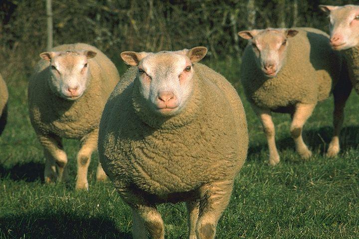 race ovine Charmoise