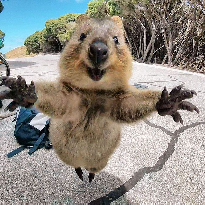 Yay Quokkas! They are adorable and precious. They are a protected species and you aren't even allowed to pet them. Tougher penalties for people who are cruel to them please. Assholes all!