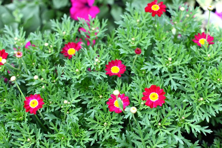 Argyanthemum 'Meteor Red' - Deadhead regularly to ensure long lasting colour throughout summer. www.thepavilion.ie