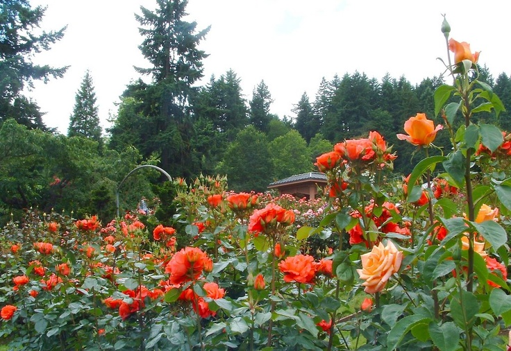 Portland rose garden, they create new varieties!  Nice place to visit if you are in Portland in the summer