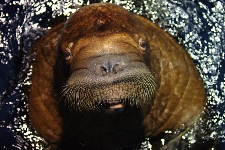 El Oceanogràfic es el segundo centro de Europa que mantiene a ejemplares de morsas