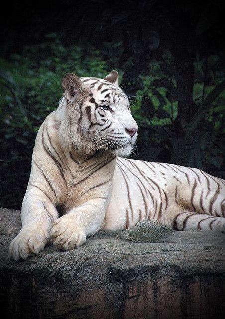 wildlife photography animals White Tiger