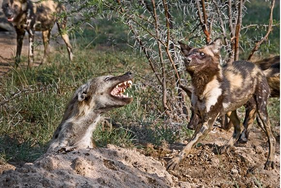 Wild Dogs Of Africa Hunting Videos