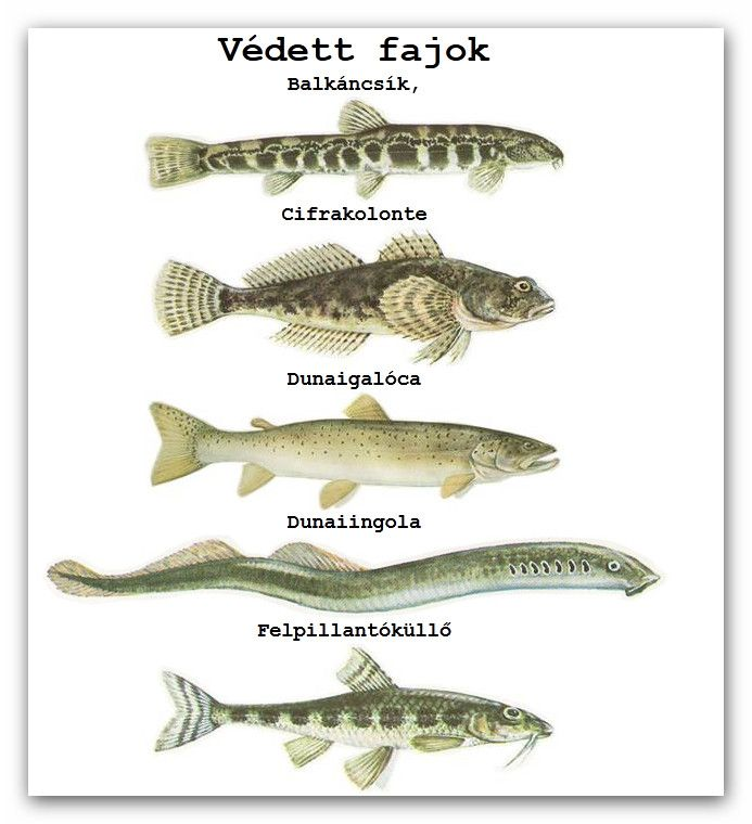Védett fajok :: E.V.H.E.