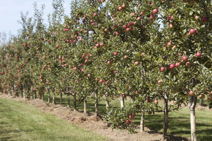 Rows and rows of fruit trees to pick from  #pickyourownapples