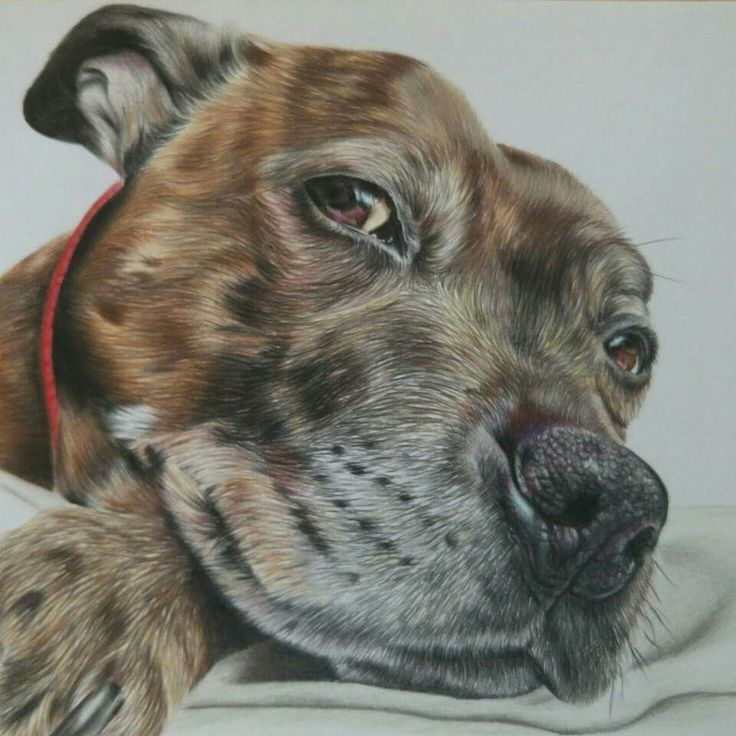 Staffordshire bull terrier Dog portrait by Katie Bowman www.personalartwork.co.uk