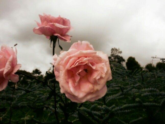 Unas cuantas rosas que solo esperan con el tiempo y se deprimen con el viento. También te miran y sonríen