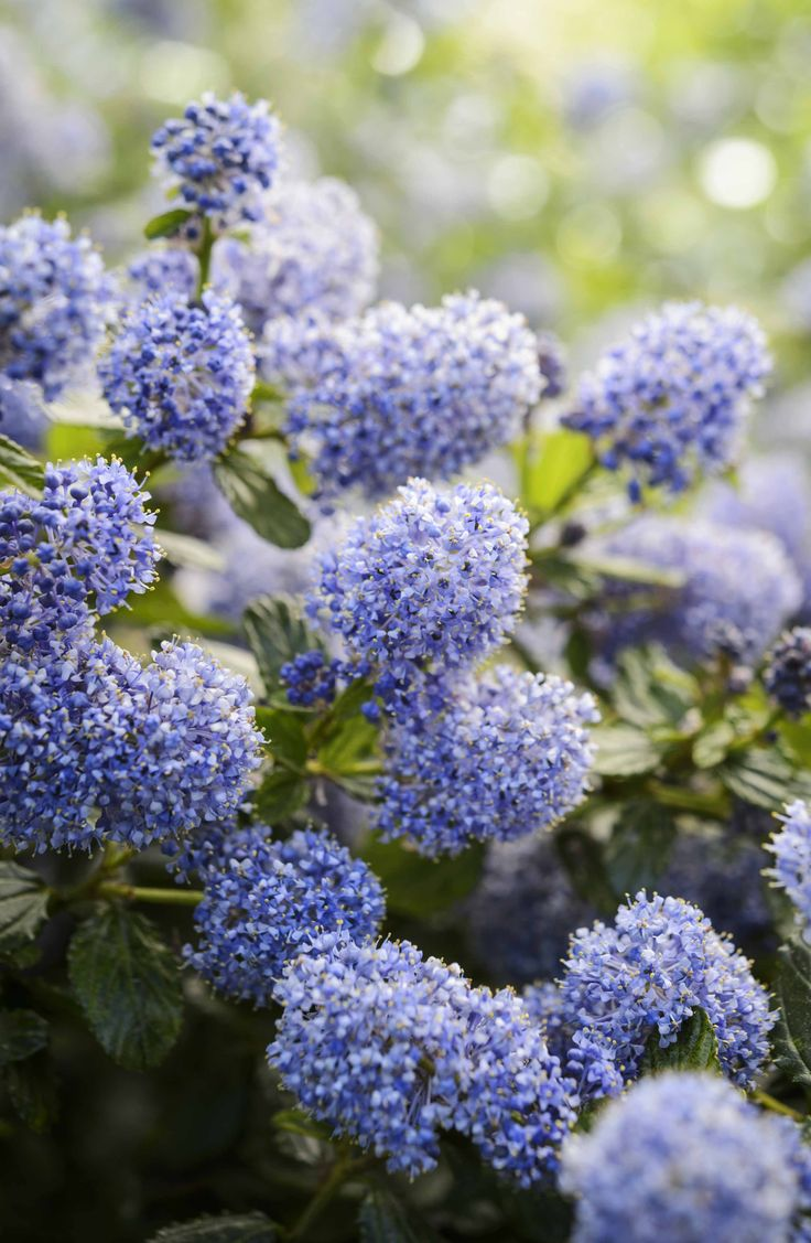 Ceanothus, or Californian lilac has masses of rich blue flowers, that are magnets to bees, through spring and summer. Find out more: http://www.gardenersworld.com/plants/search/name/ceanothus/ Photo by Jason Ingram