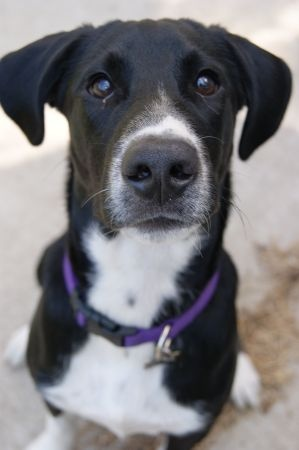 "Springer/Lab Mix Looking for Good Home ""Free"" Jordan, MN"