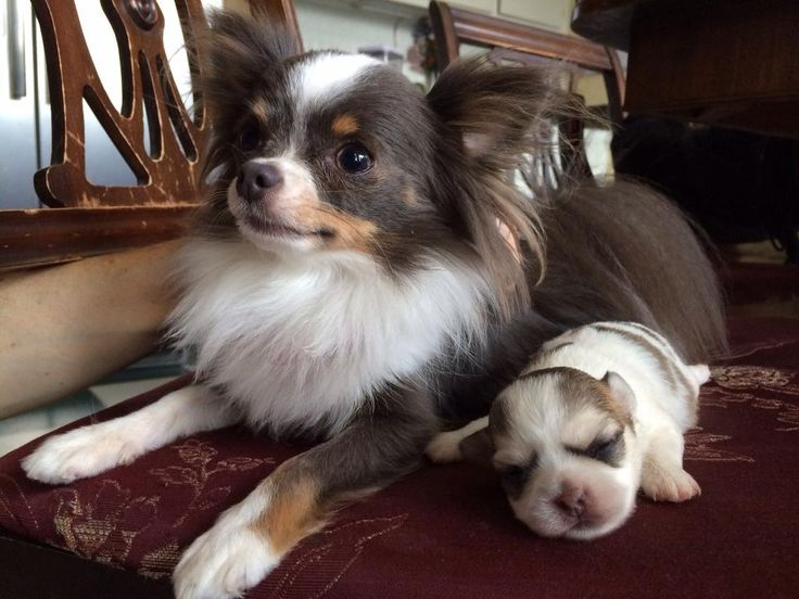 17 best images about hair chihuahuas on