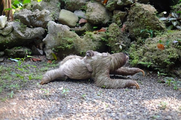 The Sloth Sanctuary in Costa Rica is the only sloth sanctuary in the world. Click to read more about my journey there + sees pics of baby sloths!