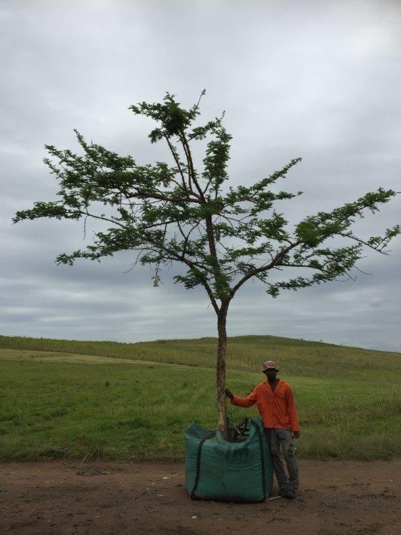1000L Acacia sieberiana var. woodii (presently Vachellia sieberiana) Paperbark thorn / Acacia