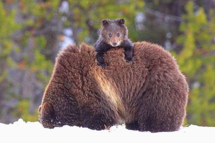Grizzly Cub: Animal Baby, Animal Kingdom, Bears Cubs, Baby Animal, National Parks, Big Bears, Brown Bears, Baby Bears, Grizzly Bears