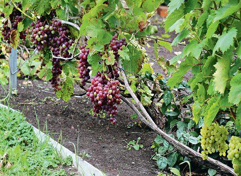 Обрезка винограда: горизонтальный кордон по Беликовой