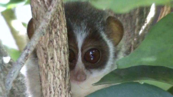 The Loris, one of world's smallest primates is under threat through loss of habitat. Naturalist Chaminda Jayasekara runs a conservation site to protect the animals.