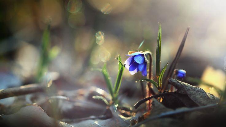 Wiosna, Kwiaty, Przylaszczki, Suche, Liście