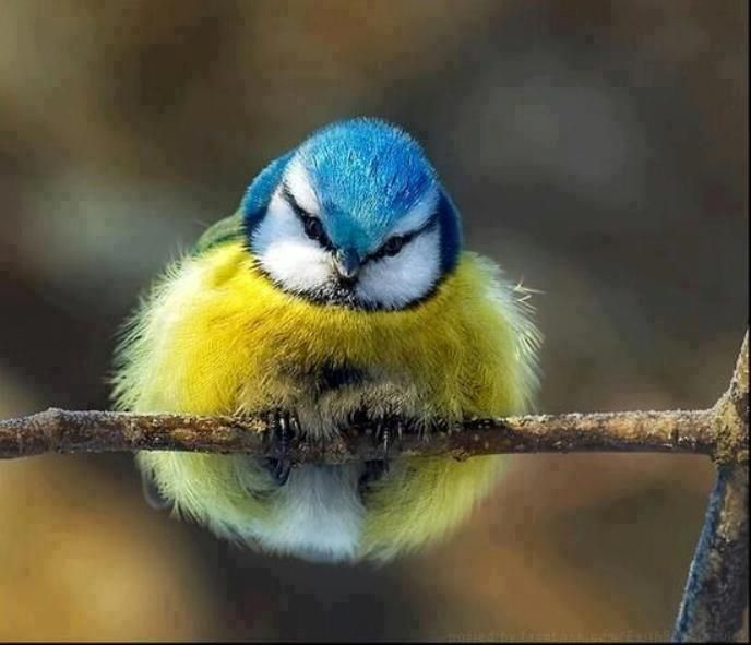 Little fuzz ball, Blue Tit. Gorgeous birdie