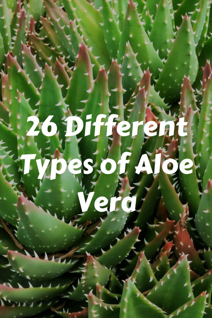 Aloe Vera Plant Care The Ultimate Guide For How To Grow: 26 Different Types Of Aloe Vera