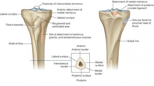 Fig.2 Articulating surfaces of the tibia. Drake et al: Grays Anatomy for Students