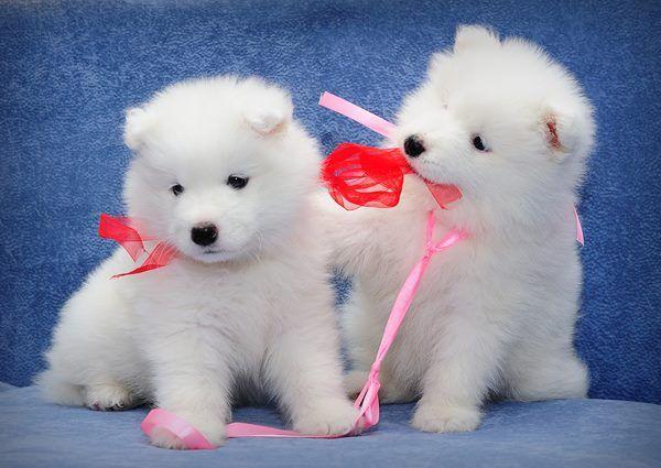 Cute samoyed puppies.