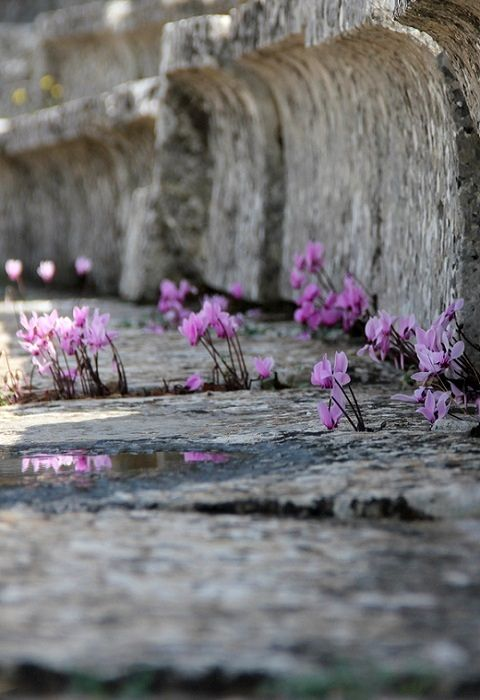 Wild Cyclamens on the steps of  Ancient Theatre of Epidaurus, Greece (by Olga Ryabova on 500px)