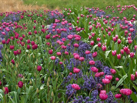 Un esempio di Installazione di Tulipani realizzata da Jacqueline van der Kloet, garden designer e nota paesaggista olandese, che ha studiato il disegno de Il Giardino dei Tulipani a Villa Pisani Bolognesi Scalabin (Vescovana - Padova) http://www.giardinity.it/i-bulbi-di-evelina-pisani-2016/  #flower #giardinaggio #fiori #tulipani #natura