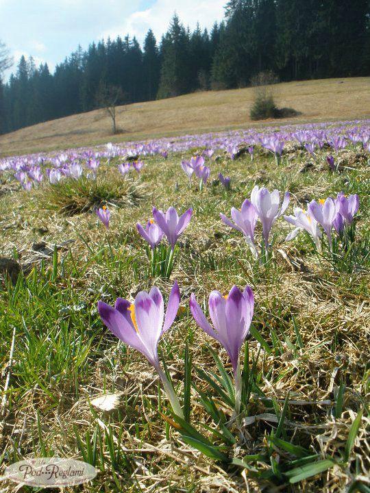 Tatry wiosna w górach - 4 maja 2011 roku, krokus