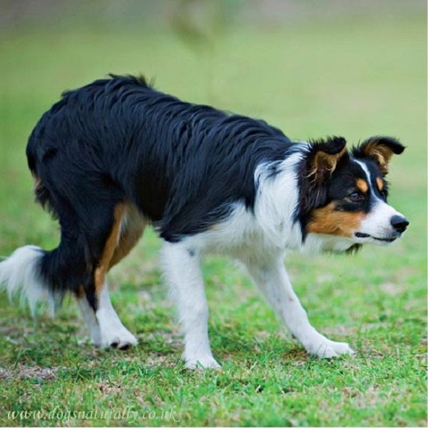 I love the Tri-color border collies. The coat on this dog is absolutely beautiful!