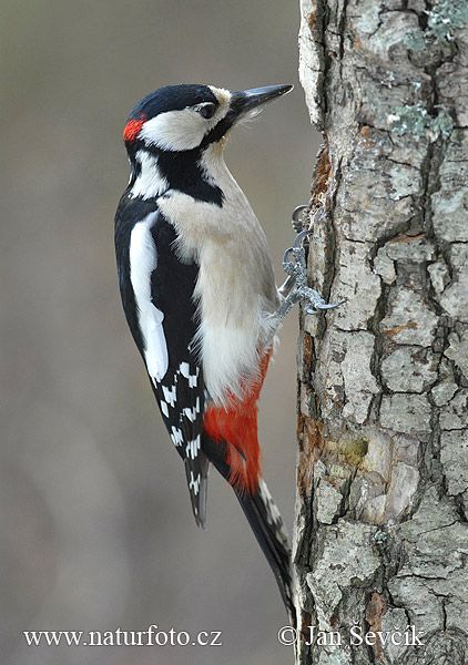 Greater Spotted Woodpecker - I have one of these that very loudly visits my bird feeder