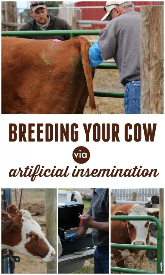Breeding Your Cow via Artificial Insemination-- a good option if you only have a handful of cows and limited access to a bull. Lots of pics, too, and tips for detecting heat in a cow.: